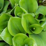 绿色Swirly叶子正方形  免版税图库摄影