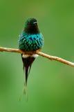 绿色Thorntail, Discosura conversii,拉巴斯瀑布庭院,哥斯达黎加 蜂鸟有清楚的绿色背景 野生生物场面 免版税库存图片