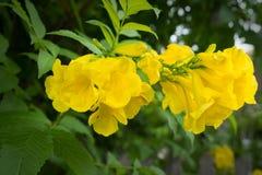 黄色trumpetbush 免版税图库摄影