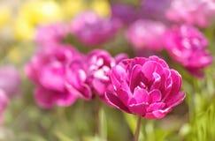 紫色tulps在春天从事园艺,被弄脏的背景,文本空间 图库摄影