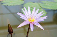 紫色Waterlily花 库存照片