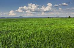 绿色wheatfield 库存照片