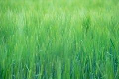 绿色wheatfield 免版税图库摄影