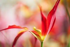 艺术性的五颜六色的郁金香花背景 宏观看法明亮的红色黄色瓣 浅深度的域 免版税库存照片