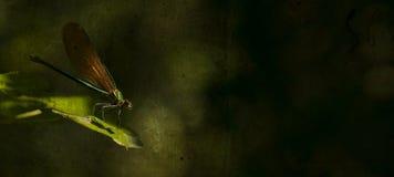 艺术性的drafonfly照片 免版税库存照片