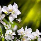 艺术春天开花与飞行蜂的背景 免版税库存图片