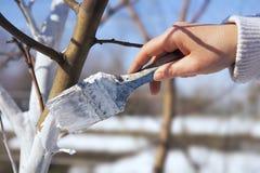 艺术白涂料苹果树树干在庭院里 免版税库存图片