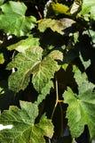 艺术背景框架葡萄离开纸纹理水彩 免版税库存图片