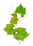 艺术背景框架葡萄离开纸纹理水彩 图库摄影