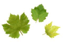 艺术背景框架葡萄离开纸纹理水彩 免版税库存照片