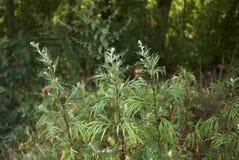 艾属寻常的植物 库存图片