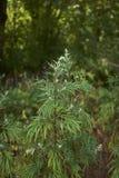 艾属寻常的植物 免版税库存照片