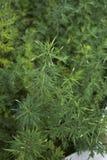 艾属寻常的植物 免版税库存图片
