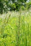 艾属或共同性命名艾蒿、蒿木和鼠尾草 免版税库存图片