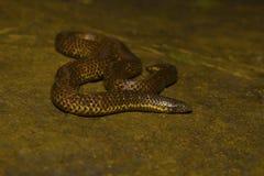 艾略特` s Shieldtail, Uropeltis ellioti, Uropeltidae 戈尔哈布尔,马哈拉施特拉 免版税库存图片