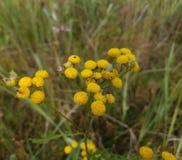 艾菊,开花,中央俄罗斯的植物 免版税库存图片