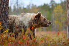 细节棕熊面孔画象  走在有秋天颜色的湖附近的美丽的大棕熊 危险动物本质上f 免版税库存图片
