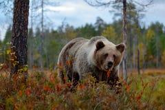 细节棕熊面孔画象  走在有秋天颜色的湖附近的美丽的大棕熊 危险动物本质上f 免版税库存照片