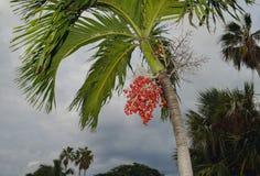 细节槟榔树catechu棕榈 库存图片