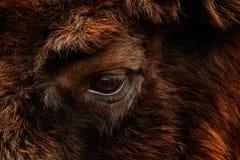 细节欧洲北美野牛眼睛画象  有大棕色动物在自然栖所,捷克共和国,双艺术视图的眼睛的皮大衣  免版税库存照片