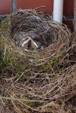 节流孔在巢的鸟小鸡 免版税库存图片