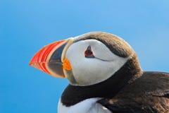 细节海鹦特写镜头画象  大西洋海鹦, Fratercula artica,与坐红色的票据的北极黑白逗人喜爱的鸟  免版税库存照片