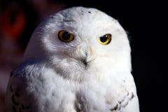 细节的雪白猫头鹰关闭 免版税库存照片