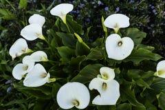 水芋属Lilys在旧金山 库存图片