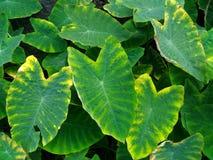 芋植物,细平面海绵体, Cocoyam, Dasheen, Eddoe,日本芋头 免版税库存照片