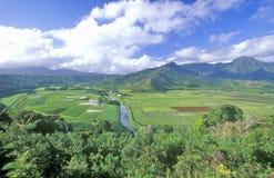 芋头,考艾岛,夏威夷的领域 免版税库存图片