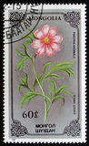 芍药属变态开花的花从花系列的,大约1986年 免版税库存照片
