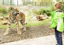 芒斯特,德国动物园男孩看老虎,直截了当地 库存图片