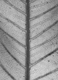 芒果叶子背景的细节纹理,黑白 免版税库存照片