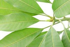 芒果叶子年轻树梢  免版税库存图片