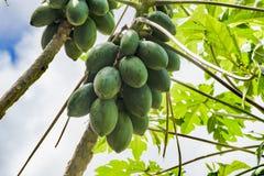 芒果果子成熟在树 免版税库存照片