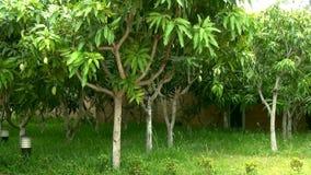 芒果树丛用在背景的果子 股票视频
