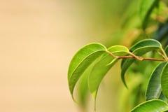 芒果树叶子 库存照片