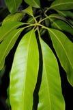 芒果树在晚上留下开发从芽, 免版税库存图片
