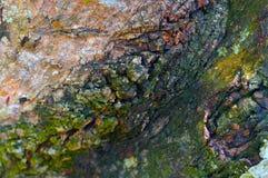 芒果树皮肤 图库摄影