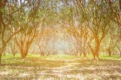 芒果树种植园在Nakhon Nayok 免版税图库摄影