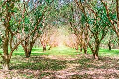 芒果树种植园在Nakhon Nayok 库存照片