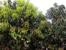 芒果树 库存图片