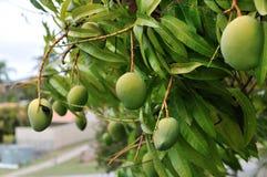 芒果树 免版税图库摄影