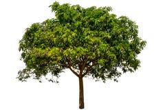 芒果树 图库摄影