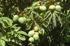 芒果树Etiopia 库存照片