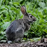 芝加哥兔子 图库摄影