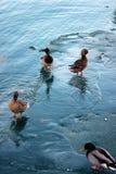 芝加哥冬天在Montrose港口的场面鸭子 免版税库存照片