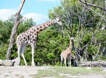 从芝加哥动物园的长颈鹿 库存图片