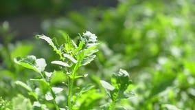 芝麻菜 关闭领域用新鲜的绿色莴苣,芝麻菜在有机蔬菜庭院里在一个晴朗的夏日 影视素材