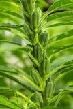 芝麻植物 免版税库存图片